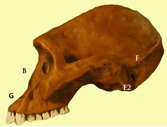 Evolución humana: Australopithecus, Homo Habilis, Homo Erectus y Homo Neanderthalensis  (6/6)