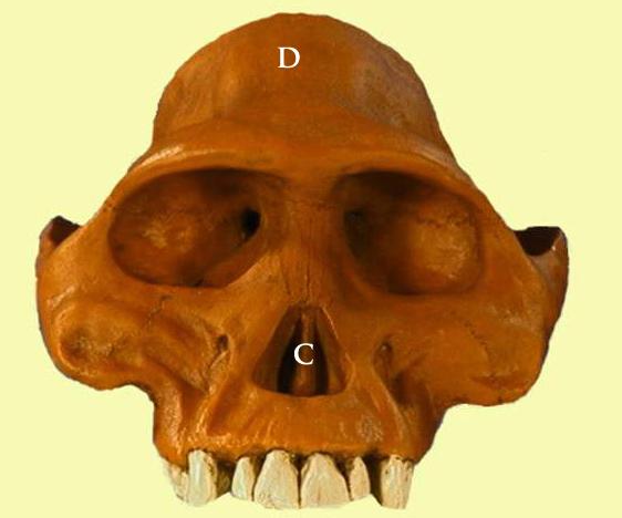 Evolución humana: Australopithecus, Homo Habilis, Homo Erectus y Homo Neanderthalensis  (4/6)