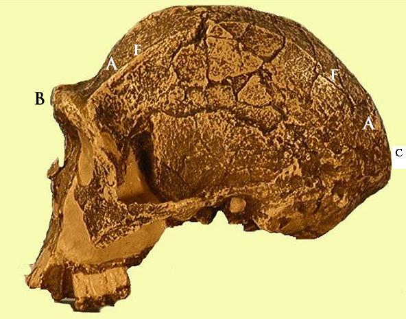 ... entre hace 1 9 y 1 6 crones esta especie es la primera que se Neanderthal 1